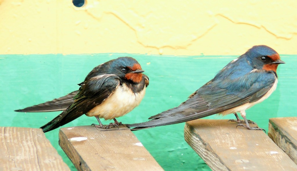 Barn Swallow (Hirundo rustica) - Black Sea (2).jpg
