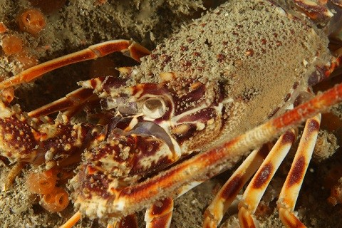 Crawfish almost threatened by overfishing.JPG
