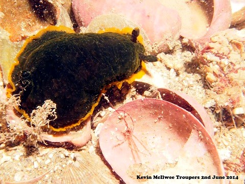 New species to our waters -Dendronis Limbata.jpg